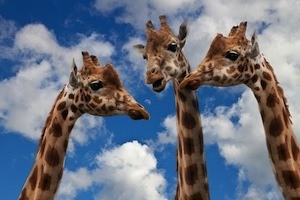 Get better grades by paying attention - photo of 3 giraffes