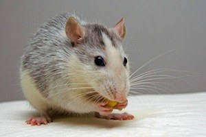 Sleeping and eating are study skills too. photo of rat eating