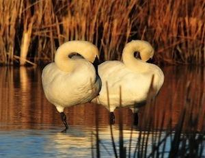 Better sleep, better relationships. Photo of swans sleeping