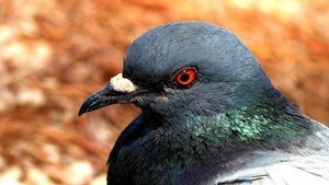 How can homing pigeons help restore our sense of direction? - photo of pigeon