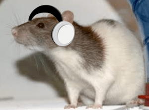 Which music heals wounds? Photo of rat wearing headphones
