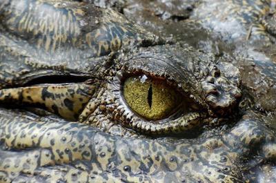 Emotional Intelligence - photo of crocodile