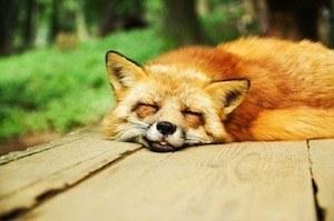 Sleep learning. Photo of fox sleeping