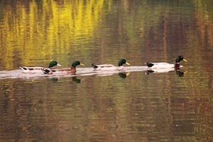 Lining up the ducks. Photo of ducks in a line
