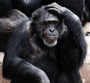improve your working memory2 - photo of gorilla