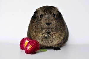 Increase your ability to delay gratification - photo of gerbil