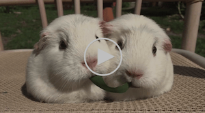 video of guinea pigs sharing a meal