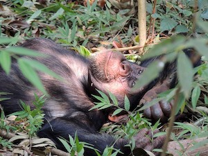 Decisions, decisions: How to make a good decision - photo of chimpanzee