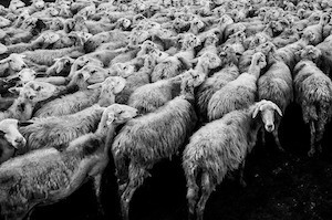Love and marriage, love and marriage, go together like...: Photo of sheep