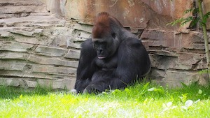 Celebrating Olympic and GCSE results? Photo of depressed gorilla