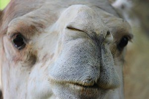 How to use your nose to eliminate stress! photo of dromedary